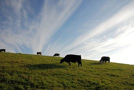 cattle-344675__180